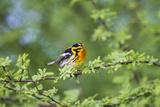 South Padre Island  Texas Blackburnian Warbler Feeding