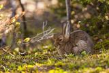 Olympic National Park  Hurricane Ridge Snowshoe Hare  Cirque Rim Nature Loop