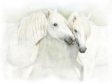 Two White Horses of Camargue  French  Nuzzling