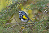 Minnesota  Mendota Heights  Yellow Rumped Warbler Perched on Branch