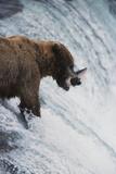 Alaska  Brown Bears Feeding on Sockeye Salmon in Katmai National Park