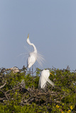 Calhoun County  Texas Great Egret Displaying Plume Feathers