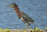 North America  USA  Florida  Pahokee  Green Heron  Walking on Log