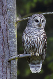 Barred Owl  Hunting at Dusk