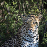 Leopard Portrait  Close Up