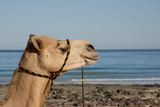 Australia  Cable Beach Camel Used for Sight Seeing Along Cable Beach