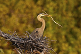 Florida  Venice  Great Blue Heron Building Nest Adding Stick