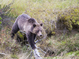 USA  Wyoming  Yellowstone National Park  Grizzly Bear Crossing Log