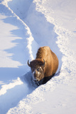 Wyoming  Yellowstone National Park  Hayden Valley  Bison Walking in Snow Trough