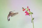 Jeff Davis County  Texas Black Chinned Hummingbird on Penstemon