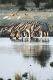 Namibia  Etosha National Park  Burchells Zebras Drinking from River