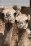 Camels at the Camel Market in Al Ain Near Dubai  United Arab Emirates