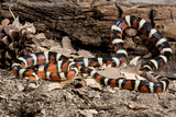 Arizona  Madera Canyon Sonoran Mountain King Snake