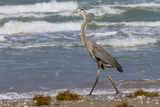 Cameron County  Texas Great Blue Heron  Ardea Herodias  Feeding