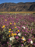 California  Anza Borrego Desert Sp  Wildflowers in Desert