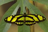 Bamboo Page Butterfly  La Selva Reserve  Amazon Basin  Ecuador