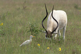 Cattle Egret Waits for Insects Rio Grande Valley  Ellensburg  Texas