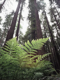 California  Redwood National Park  Ferns and Old Growth Redwoods
