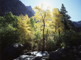 California  Sierra Nevada  Fall Colors of Cottonwood Trees on a Creek