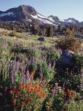 California  Sierra Nevada Indian Paintbrush  Castilleja  and Lupine
