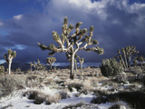 California  Joshua Tree National Park  Mojave Desert  Snow Covered Joshua Tree