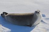Antarctica Near Adelaide Island the Gullet Crabeater Seal