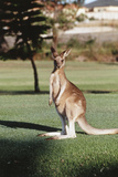 Australia  New South Wales  Yamba Golf Course  Eastern Grey Kangaroo