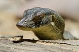 Australia  Territory Wildlife Park Mertens Water Monitor