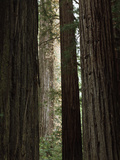 California  Humboldt Redwoods Sp  Old Growth Redwood Forest