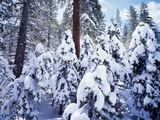 California  Sierra Nevada  Inyo Nf  Snow Covered Red Fir Tree Forest