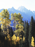 California  Sierra Nevada  Inyo Nf  Autumn Aspens Below Mountain Peak