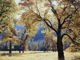 California  Yosemite National Park  California Black Oak Trees in a Meadow