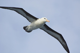 Argentina Tierra Del Fuego Black Browed Albatross in Flight