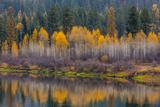 Autumn Aspens Reflect into the Pend Oreille River  Washington