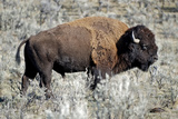 American Bison Graze in the Lamar Valley of Yellowstone National Park