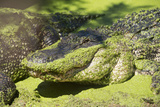 Australia, Broome. Malcolm Douglas Crocodile Park. American Alligator Papier Photo par Cindy Miller Hopkins
