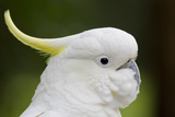 Australia  Dandenong National Park  Grants Reserve Sulphur Crested Cockatoo