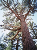 California  Sierra Nevada  Inyo Nf  Old Growth Ponderosa Pine Tree