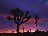 California  Joshua Tree National Park  Mojave Desert  Joshua Trees at Sunrise