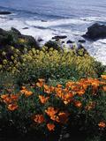 California  Big Sur Coast  Central Coast  California Poppy and Ocean