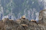 Alaska  Kenai Peninsula  Northwestern Fjord Steller Sea Lions