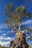Australia  Barossa Valley  Springton  the Herbig Tree