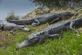 American Alligators Sunning  Anhinga Trail  Everglades National Park  Florida