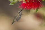 Annas Hummingbird in Flight Sipping Nectar from a Bottle Brush