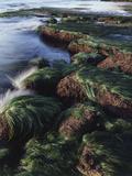 California  San Diego  Waves Crash on Eel Grass Covered Rocks