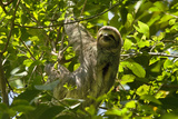Central America  Costa Rica Male Juvenile Three Toed Sloth in Tree