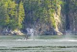 Alaska Humpback Whale Tail Lobbing