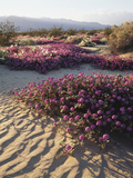 California  Anza Borrego Desert Sp  Sand Verbena on a Sand Dune
