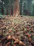 California  Sierra Nevada  Ponderosa Pine Tree and Pine Cones