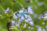 Cameron County  Texas Blue Metalmark Butterfly Nectaring